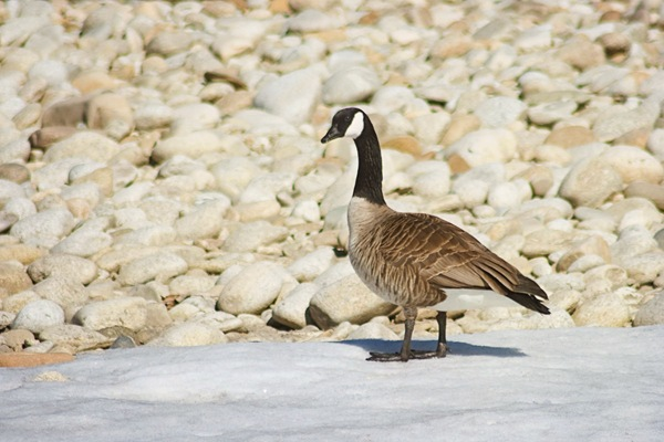 Canada-goose-checking-me-out-edit