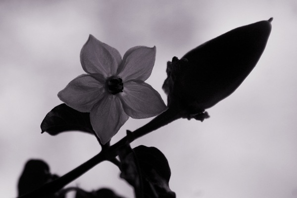 semi-silhouette-flower
