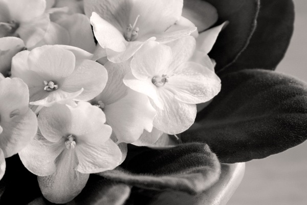 Monochrome-African-Violets-with-warming