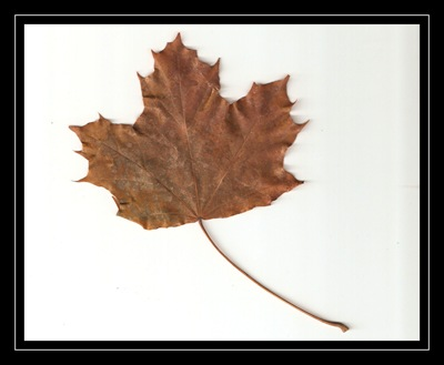 fall maple leaf scanned