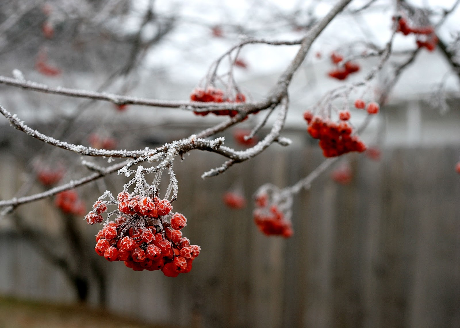 [Frozen Mountain Ash berries[3].jpg]