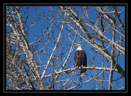 Mr. Eagle resized