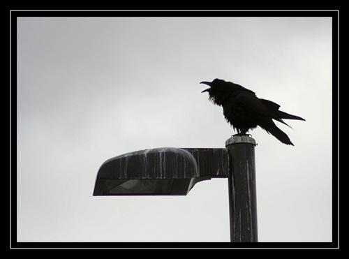 Grumpy raven