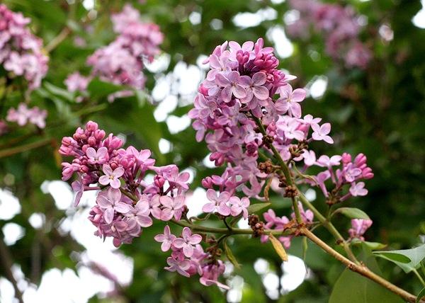 My lilacs