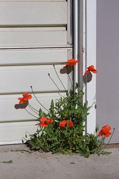 volunteer-poppies
