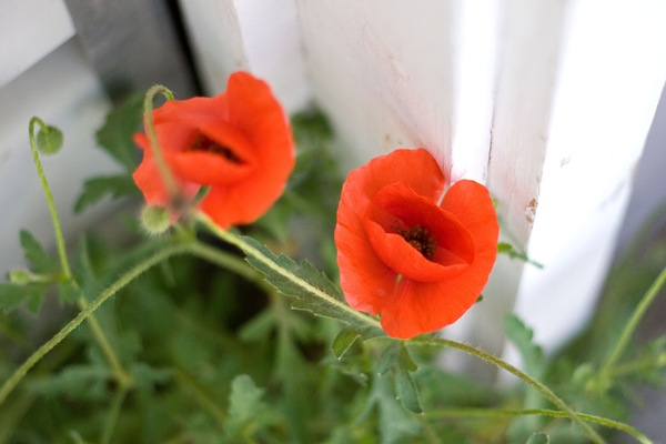 garage-door-poppies