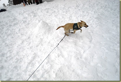 Reyna running lab loops in the snow.