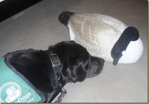 Sheba investigates a goose!