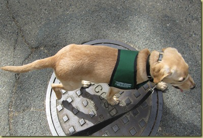 Vienna as she walks nicely over the manhole cover.  Good girl!