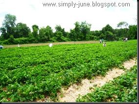 StrawberryFarm5