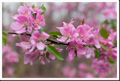 Crabapple_blossoms