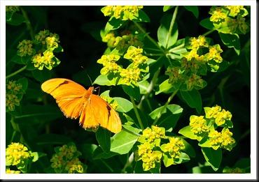 Danville-Butterfly-1