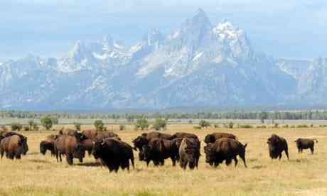 Grand Tetons Bisons