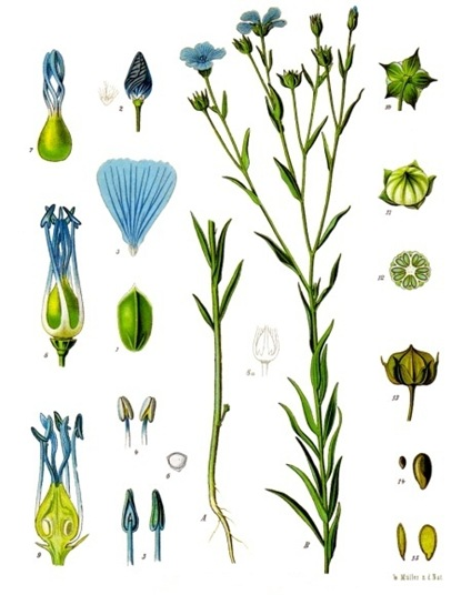 flax plant