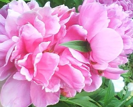 pink peony mammaw