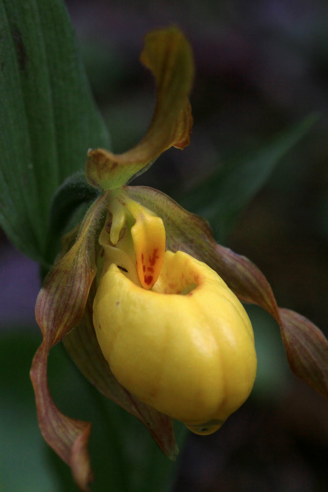 Native orchids of the pacific northwest and the canadian rockies large yellow ladys slipper cypripedium parviflorum var pubescens mightylinksfo