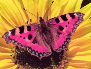 mariposa rosa en girasol