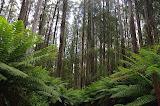 Eucalypt forest
