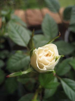 Cream rose bud