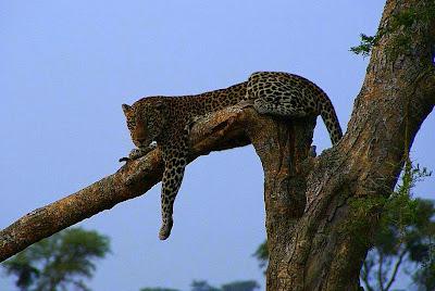 Leopardo en el sector Ishasha, Queen Elisabeth N.P. (Uganda)