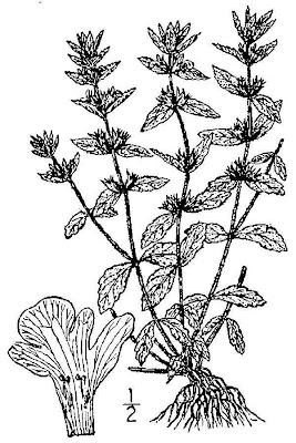Sideritis romana, Common Sideritis, simplebeak ironwort, Stregonia comune