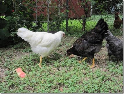Chickens 004