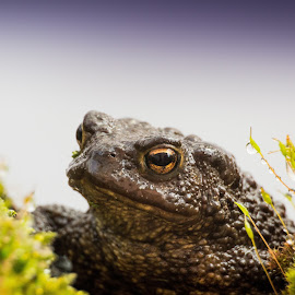 another toad by Duncan Riggall - Animals Amphibians ( toad droplets green water  frog )