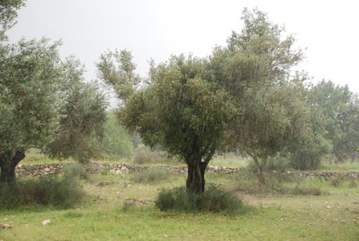 olive trees in rain