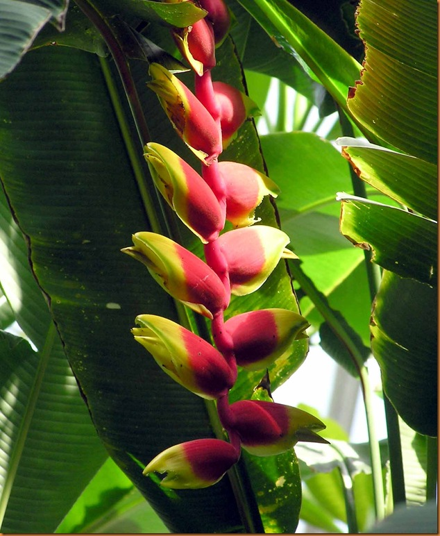 Heliconia_rostrata_kewgardens_london_arp