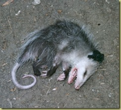 possum