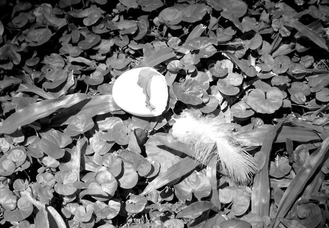 huevo paloma ene 09