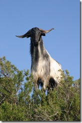 Chèvres Bou Gabrine 08 01 07 (2)