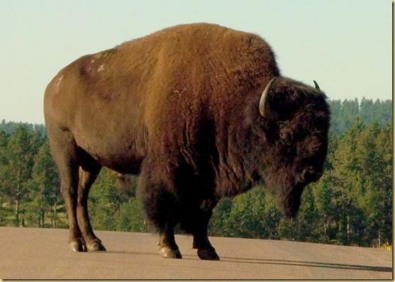 2010-07-13 - SD, Custer State Park Wildlife Loop 1001
