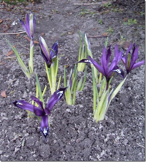 2011_02 Iris im Garten