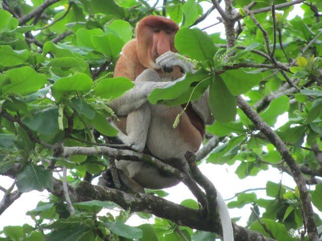 proboscis monkey Bako