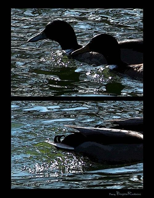 pm_20110323_ducks