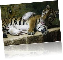 Tigresa e porquinhos (5)