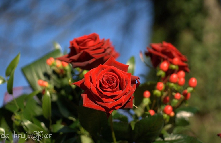 passion red rose