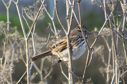 Blog_HermitThrush