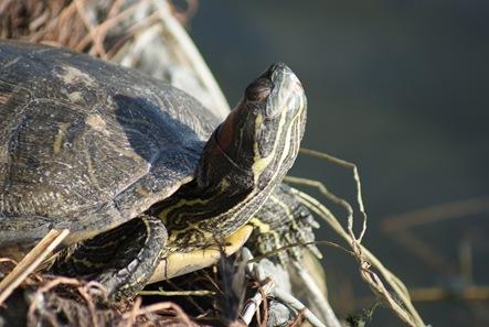Turtle_Feb2010