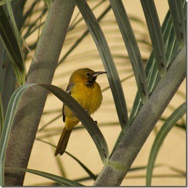 YellowBird_Female