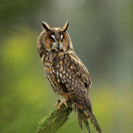 Long-eared Owl by Jiří Míchal - Animals Birds ( bird, owl, animal )