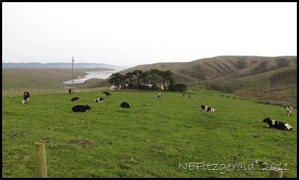 IMG_5928_Dairy CowsPointReyes