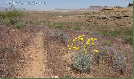(a)Desert Marigold