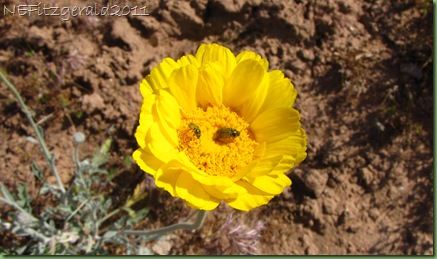 (c)Desert Marigold