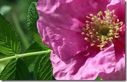 sciarpa seta rosa  -9