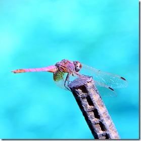 libellula turchese-8