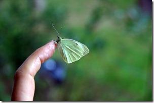 Allevamento farfalle-13