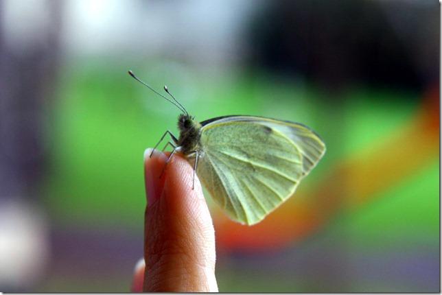 Allevamento farfalle-14