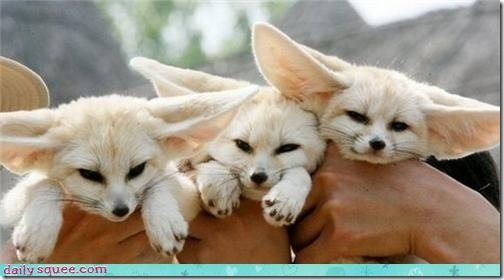 3fennecfoxes